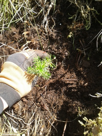 6) Put the plant in the hole. Make sure the hole is not too big (there should be no air between its roots and soil).