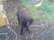 A labrador called Tito :)